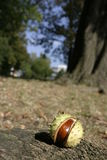 Horse-Chestnut in shell. Close up of horse-chestnut in spiky shell, autumn scene Royalty Free Stock Photos