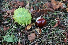 Horse chestnut shell case and conker lying on an autumn ground. Horse chestnut shell case and conker nestling in autum leaves stock photos
