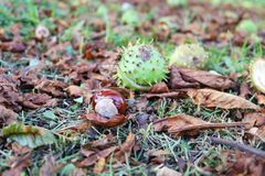 Horse chestnut shell case and conker lying on autumn leaves. Photgraphed from ground level stock photo