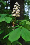Horse chestnut tree Royalty Free Stock Images