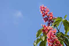 Horse chestnut tree Aesculus carnea with pink blossom flowers. On blue sky background at sunny spring day stock images