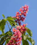 Horse chestnut tree Aesculus carnea with pink blossom flowers. On blue sky background at sunny spring day. Close-up view stock photo