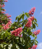 Horse chestnut tree Aesculus carnea with red blossom flowers. On blue sky background at sunny spring day. Close-up view stock images