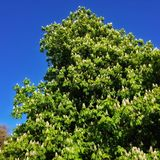 Horse Chestnut Tree royalty free stock photography