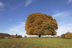 Horse chestnut tree (Aesculus hippocastanum) Conker tree in autumn, Lengerich, North Rhine-Westphalia, Germany Royalty Free Stock Photo