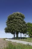 Horse Chestnut tree, Aesculus hippocastanum in spring, Germany Stock Photos
