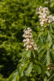 Horse-chestnut tree in bloom Royalty Free Stock Images