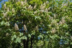 Horse chestnut tree in bloom in spring royalty free stock image