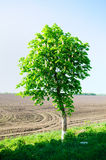 Horse chestnut tree Stock Images