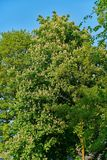 Horse Chestnut Tree in Flower conker tree Stock Photos