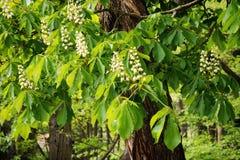 Horse chestnut tree Stock Image