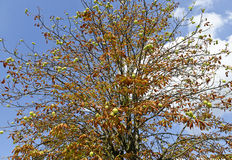 Horse chestnut tree with brown leaves and prickled fruits Royalty Free Stock Photography