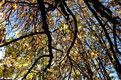 Horse Chestnut Tree Canopy Against a Blue Autumn Sky. Horse chestnut tree canopy against a clear autumnal sky royalty free stock photo