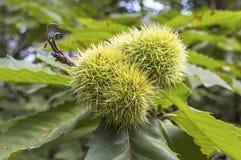 Horse chestnut on tree. Royalty Free Stock Image