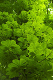 Horse Chestnut tree leaves Royalty Free Stock Photo