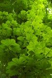Horse Chestnut tree leaves Royalty Free Stock Photo