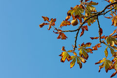Horse chestnut tree leaves in Autumn Stock Photos