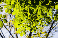 Horse Chestnut tree leaves Royalty Free Stock Image