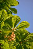 Horse Chestnut Tree Leaves in Wisconsin. Closeup of Horse chestnut tree leaves at Doctors Park In Fox Point Wisconsin royalty free stock images
