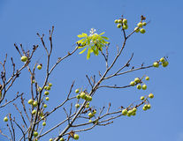Horse chestnut tree with prickled fruits and single flower Royalty Free Stock Images