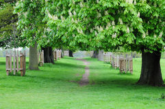 Horse chestnut walk Royalty Free Stock Image