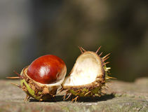 Horse chestnut on wall. Open horse chestnut resting on brick wall with out of focus background royalty free stock images