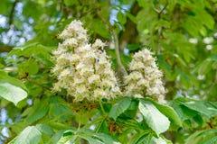 Horse chestnut. White flowers of the horse chestnut stock photos