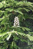 Horse chestnut white flowers on a branch with green foliage on stock photography