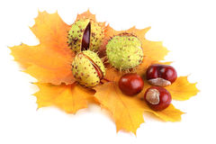 Horse-chestnut on yellow maple leaves. Isolated on white Royalty Free Stock Image