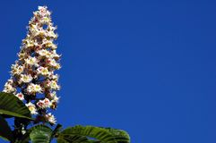 Horse-chestnut1 Stockfoto