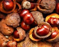 Horse-chestnuts κλείνουν επάνω Στοκ φωτογραφία με δικαίωμα ελεύθερης χρήσης