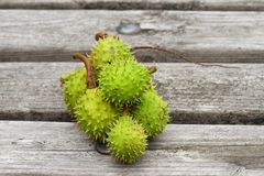Horse-chestnuts μακροεντολή στοκ εικόνα