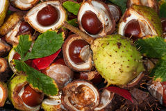 Horse Chestnuts. Lying on the ground some still in the shells royalty free stock image