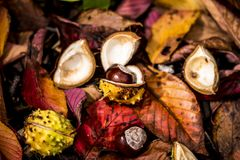 Horse Chestnuts and Autumn Leaves, Oxford UK Royalty Free Stock Photo
