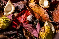 Horse Chestnuts and Autumn Leaves, Oxford UK Royalty Free Stock Images