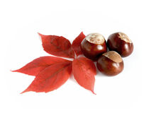 Horse Chestnuts with autumnal leaf Stock Photo