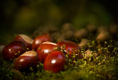 Horse chestnuts Royalty Free Stock Photos