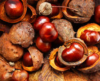 Horse-chestnuts close up Royalty Free Stock Photo