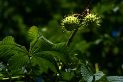Horse-chestnuts on conker tree branch - Aesculus hippocastanum fruits. In autumn royalty free stock photos