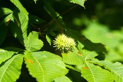 Horse-chestnuts on conker tree branch - Aesculus hippocastanum fruits. In autumn stock image