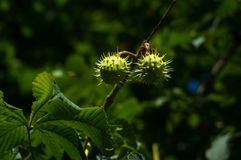 Horse-chestnuts on conker tree branch - Aesculus hippocastanum fruits. In autumn stock photos