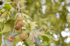 Horse-chestnuts on conker tree branch with bokeh background. Close up royalty free stock images