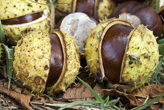 Horse-chestnuts or Conker tree nuts Royalty Free Stock Photography