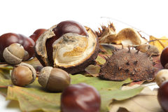 Acorns Conkers Horse Chestnut Cases And Beechnuts