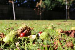 Horse chestnuts conkers lying on the ground. Horse chestnuts / conkers lying on the ground having fallen from a tree in autumn stock photo