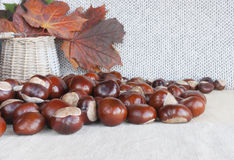 Horse chestnuts or conkers on the table, basket with autumn leav. Collection of horse chestnuts also know as conkers scattered on the table. Wicker basket with royalty free stock photo