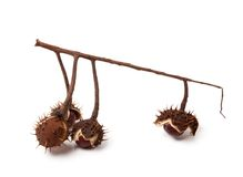Horse-chestnuts inside dry peel on branch Royalty Free Stock Photos