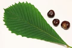 Horse-chestnuts and leaf of horse-chestnut Stock Photography