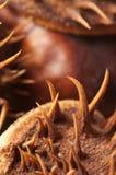 Horse chestnuts macro Stock Photos