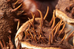 Horse chestnuts macro Stock Photography
